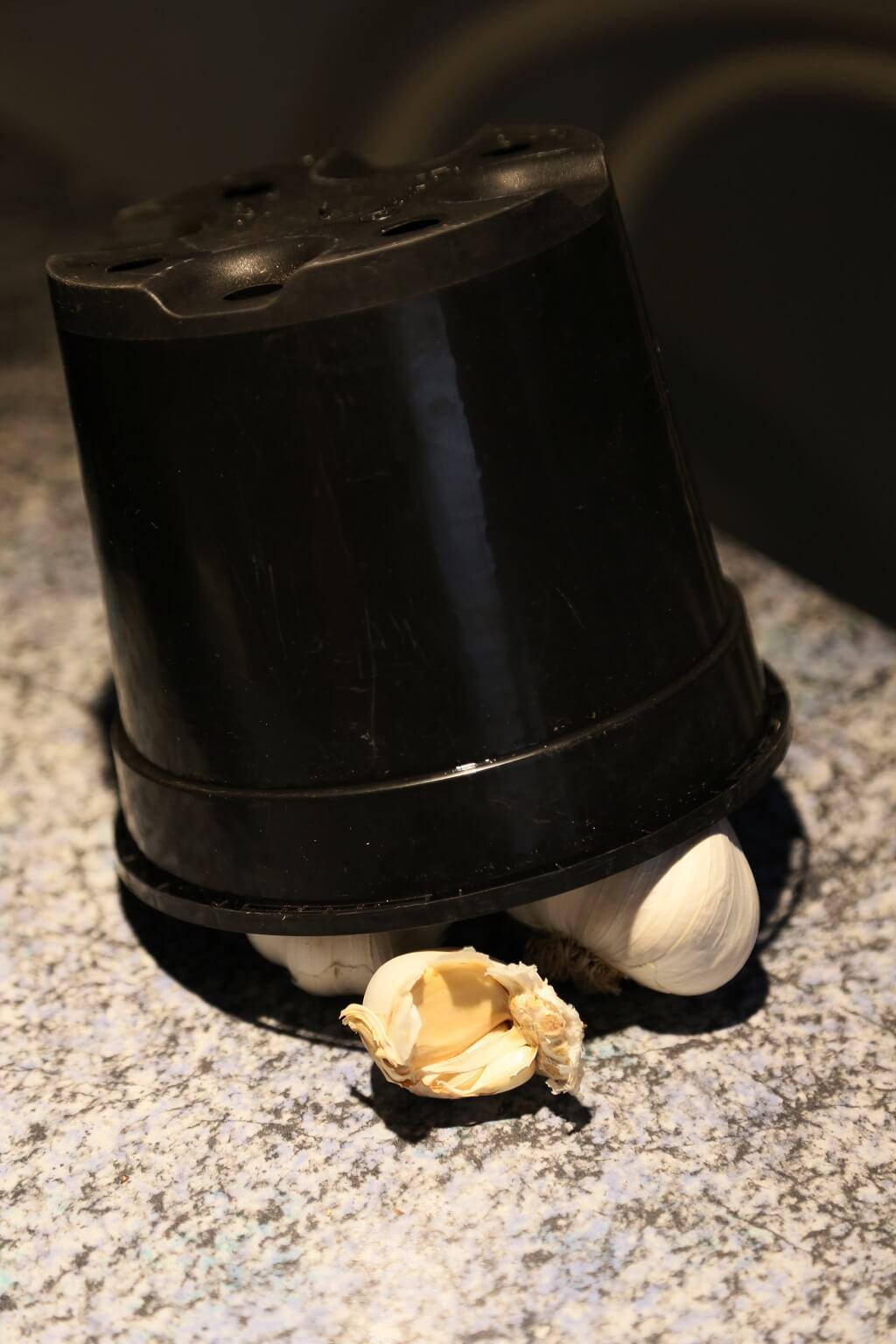 Knoblauch unter einem Blumentopf lagern